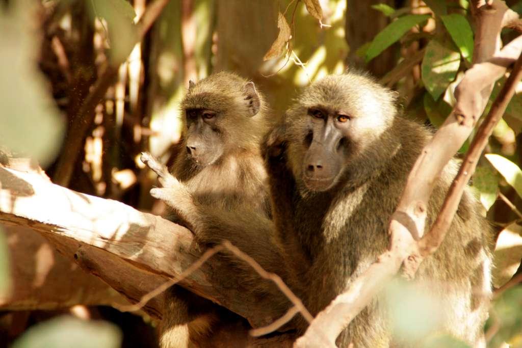 Tansania-Safari, Lake Manyara Nationalpark