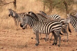 Tansania-Safari, Serengeti Nationalpark