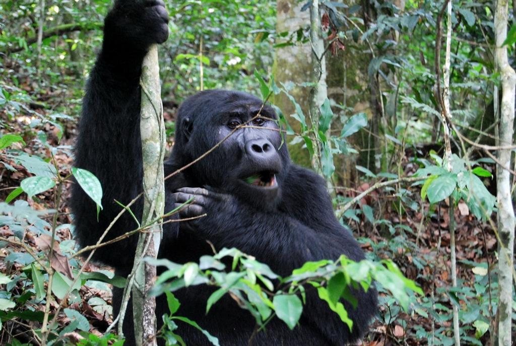 Uganda – Die letzten Berggorillas
